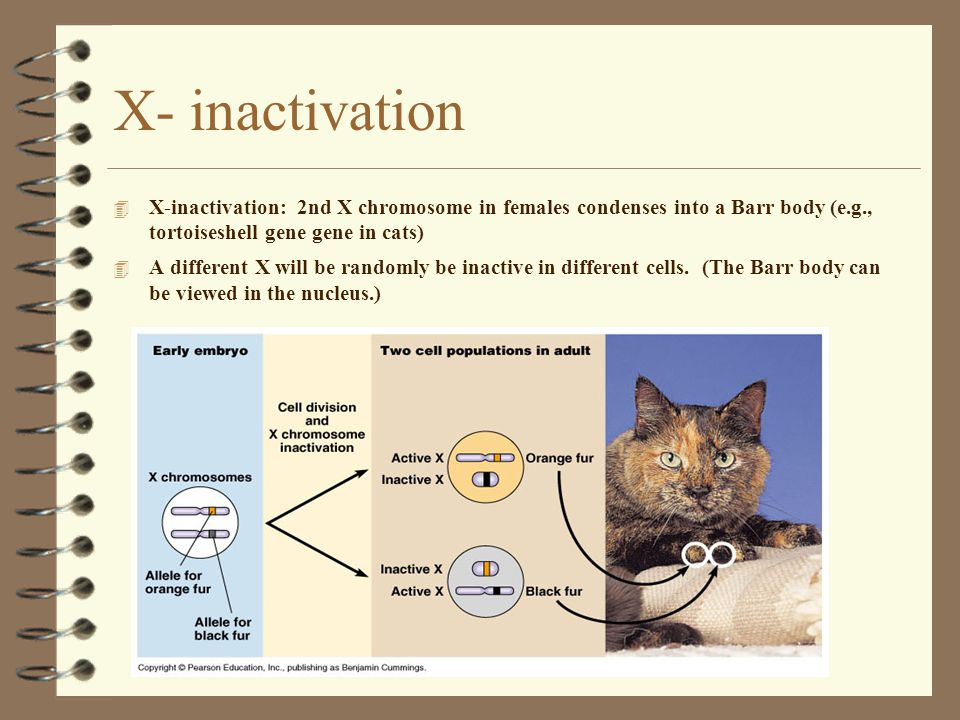 12 X- inactivation 4 X-inactivation: 2nd X chromosome in females condenses into a Barr body (e.g., tortoiseshell gene gene in cats) 4 A different X will be randomly be inactive in different cells.