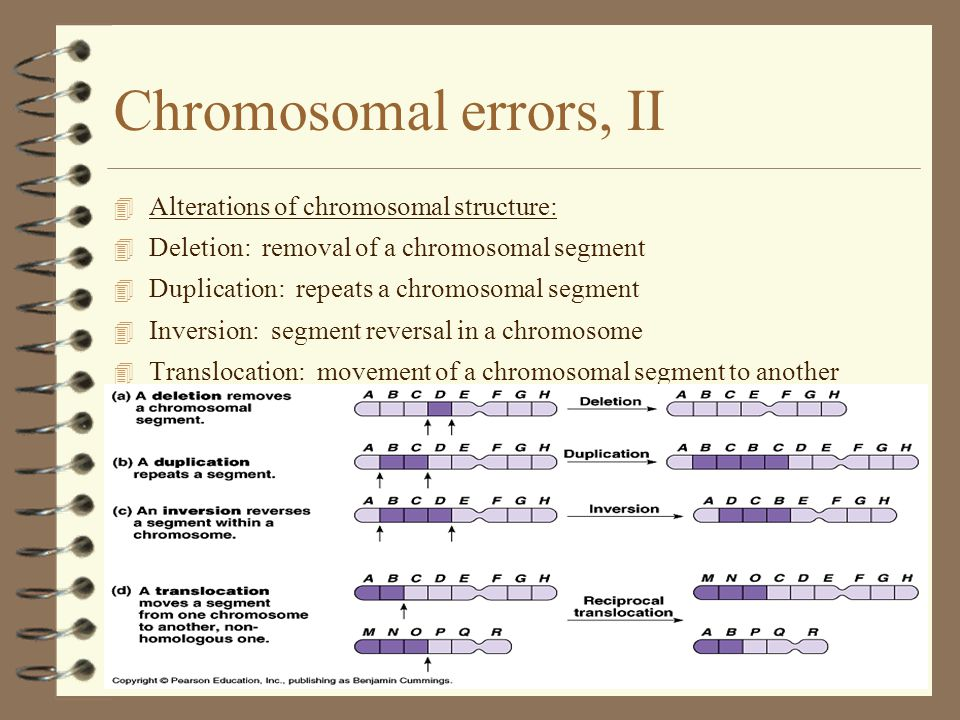 18 Chromosomal errors, II 4 Alterations of chromosomal structure: 4 Deletion: removal of a chromosomal segment 4 Duplication: repeats a chromosomal segment 4 Inversion: segment reversal in a chromosome 4 Translocation: movement of a chromosomal segment to another