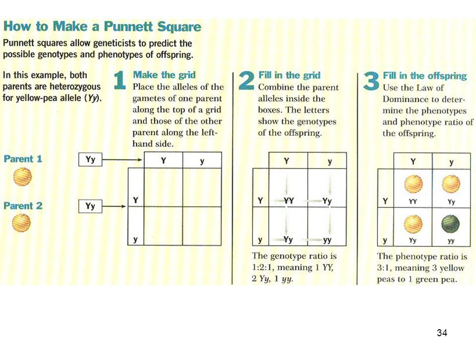 33 Punnett Square  Used to help solve genetics problems