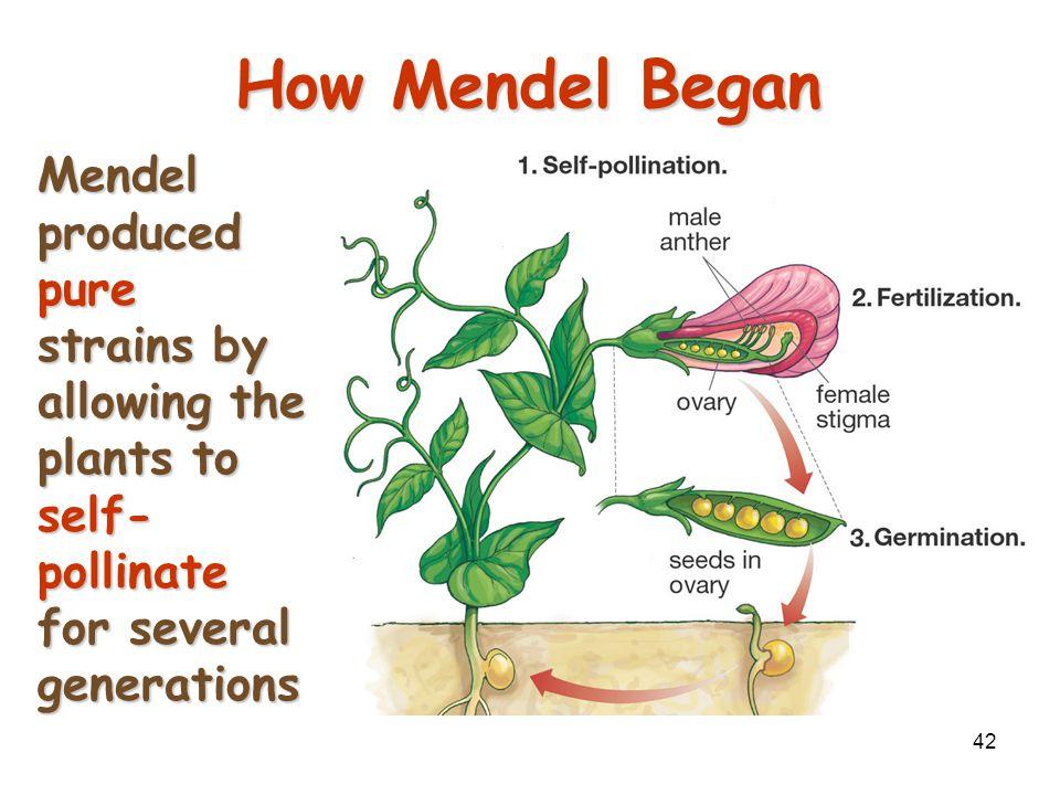 41 Mendel's Experimental Methods Mendel hand-pollinated flowers using a paintbrushMendel hand-pollinated flowers using a paintbrush –He could snip the