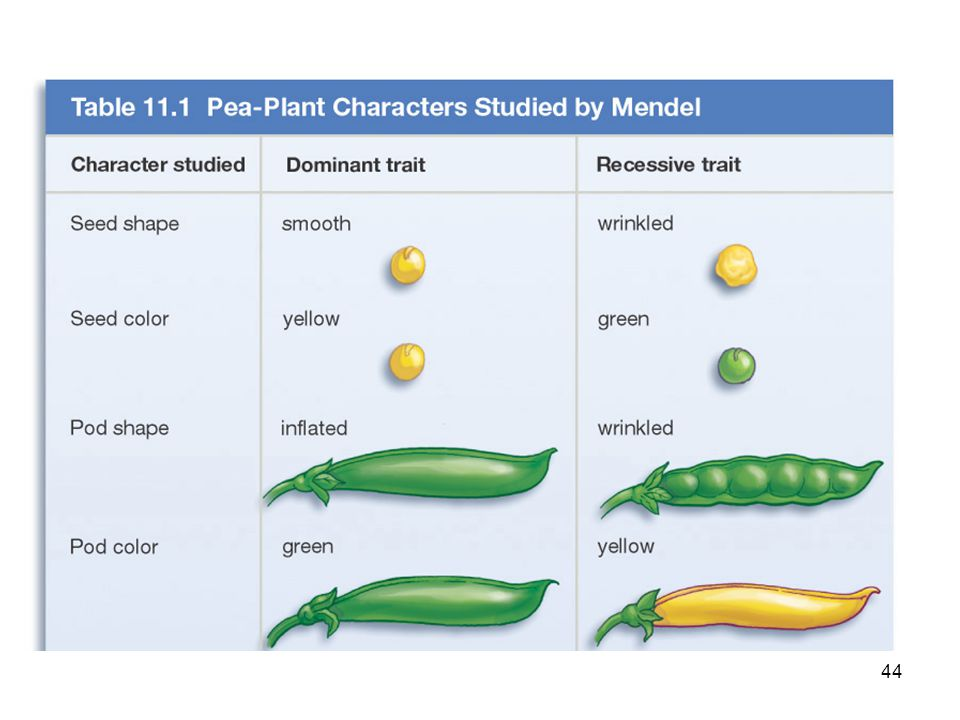 43 Eight Pea Plant Traits Seed shape --- Round (R) or Wrinkled (r)Seed shape --- Round (R) or Wrinkled (r) Seed Color ---- Yellow (Y) or Green ( y )Se