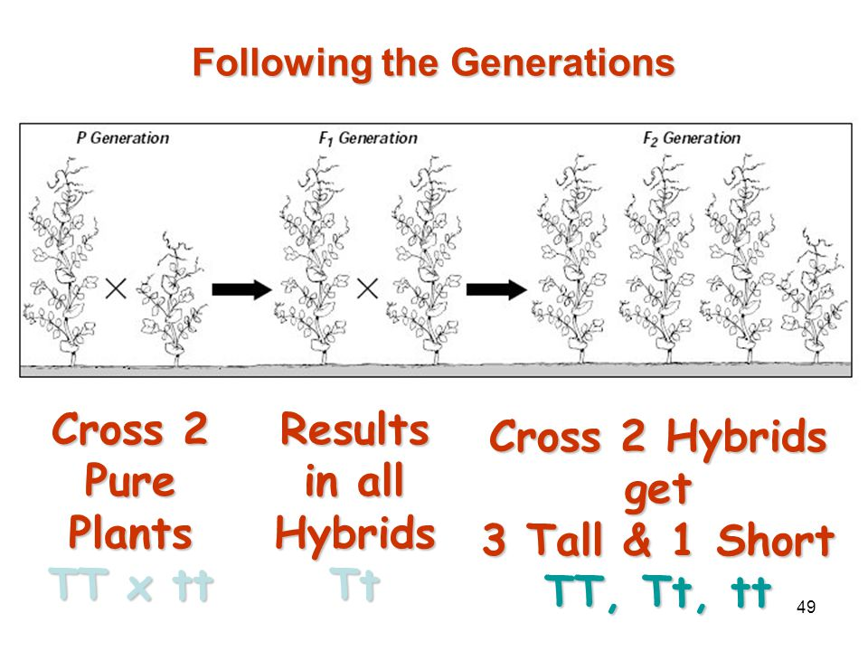 "48 Generation ""Gap"" Parental P 1 Generation = the parental generation in a breeding experiment.Parental P 1 Generation = the parental generation in a"