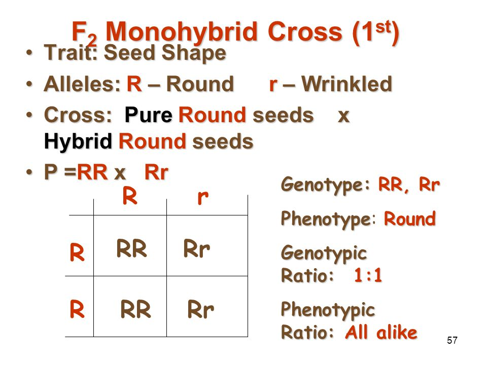 56 …And Now the Test Cross Mendel then crossed a pure & a hybrid from his F 2 generationMendel then crossed a pure & a hybrid from his F 2 generation