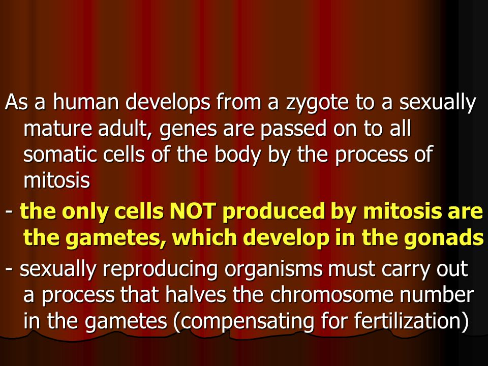 As a human develops from a zygote to a sexually mature adult, genes are passed on to all somatic cells of the body by the process of mitosis - the only cells NOT produced by mitosis are the gametes, which develop in the gonads - sexually reproducing organisms must carry out a process that halves the chromosome number in the gametes (compensating for fertilization)