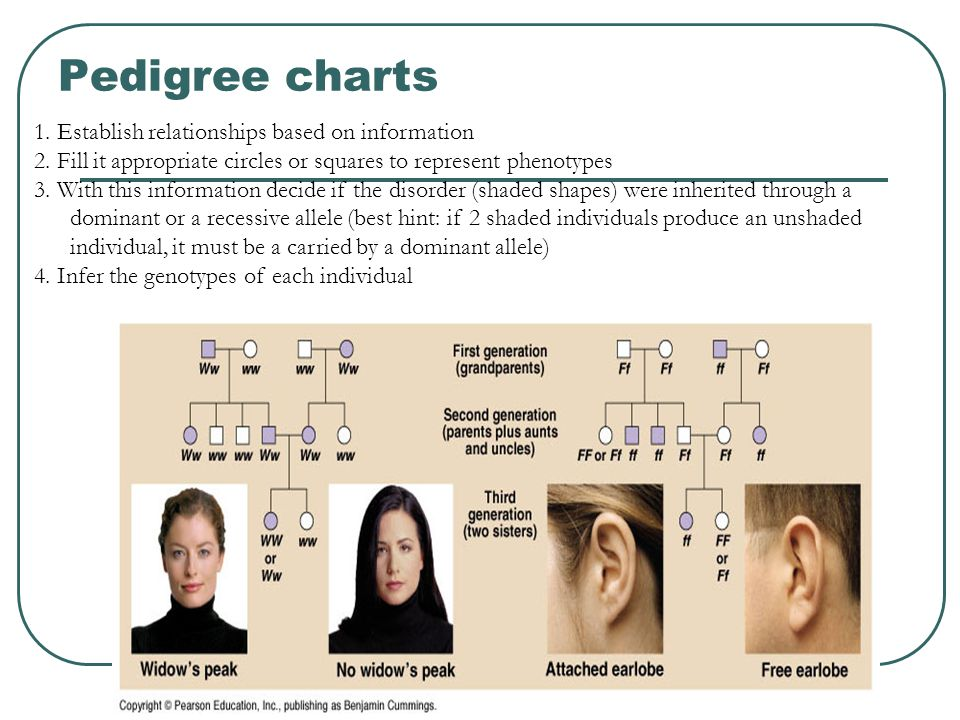 Pedigree charts 1. Establish relationships based on information 2.