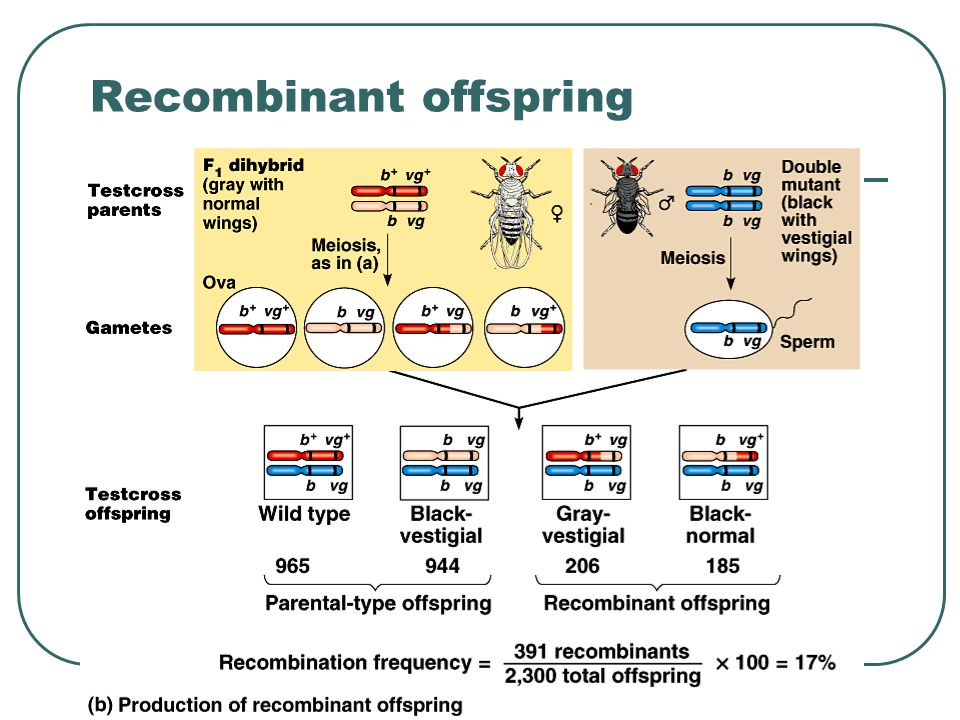 Recombinant offspring