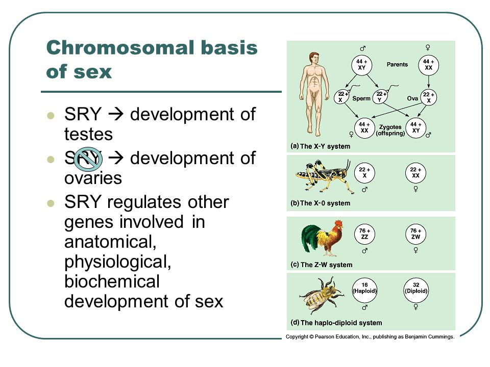 Chromosomal basis of sex SRY  development of testes SRY  development of ovaries SRY regulates other genes involved in anatomical, physiological, biochemical development of sex