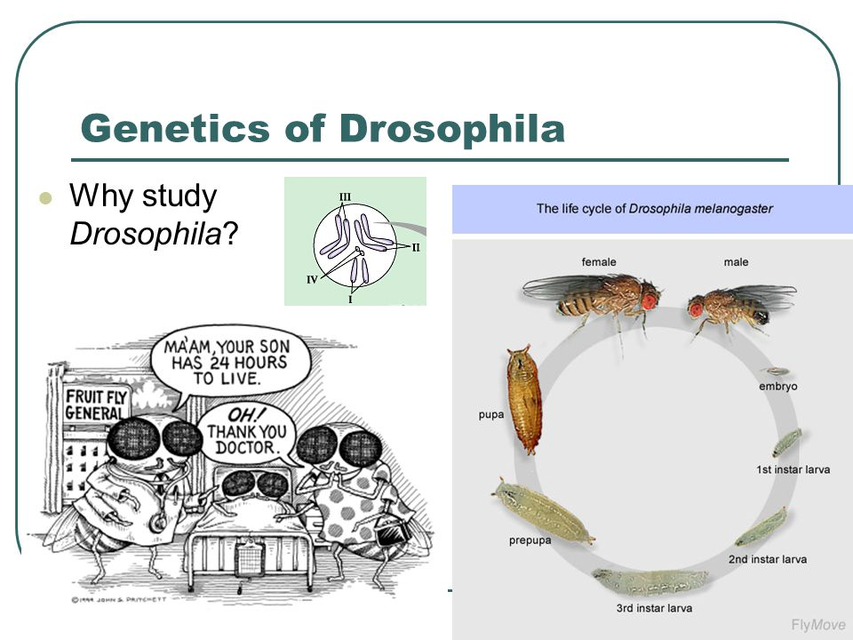 Genetics of Drosophila Why study Drosophila