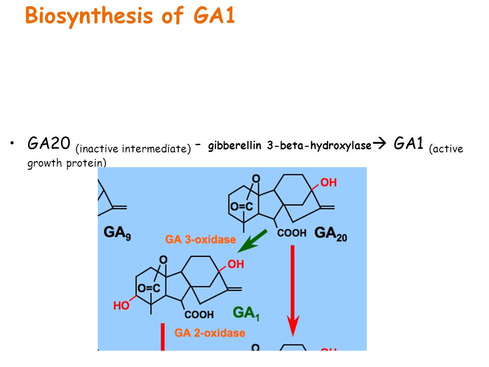Biosynthesis of GA1 GA20 (inactive intermediate) - gibberellin 3-beta-hydroxylase  GA1 (active growth protein)