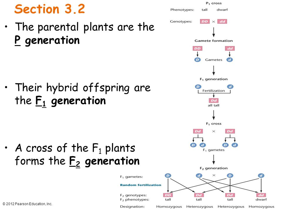 © 2012 Pearson Education, Inc. Section 3.2 The parental plants are the P generation Their hybrid offspring are the F 1 generation A cross of the F 1 p