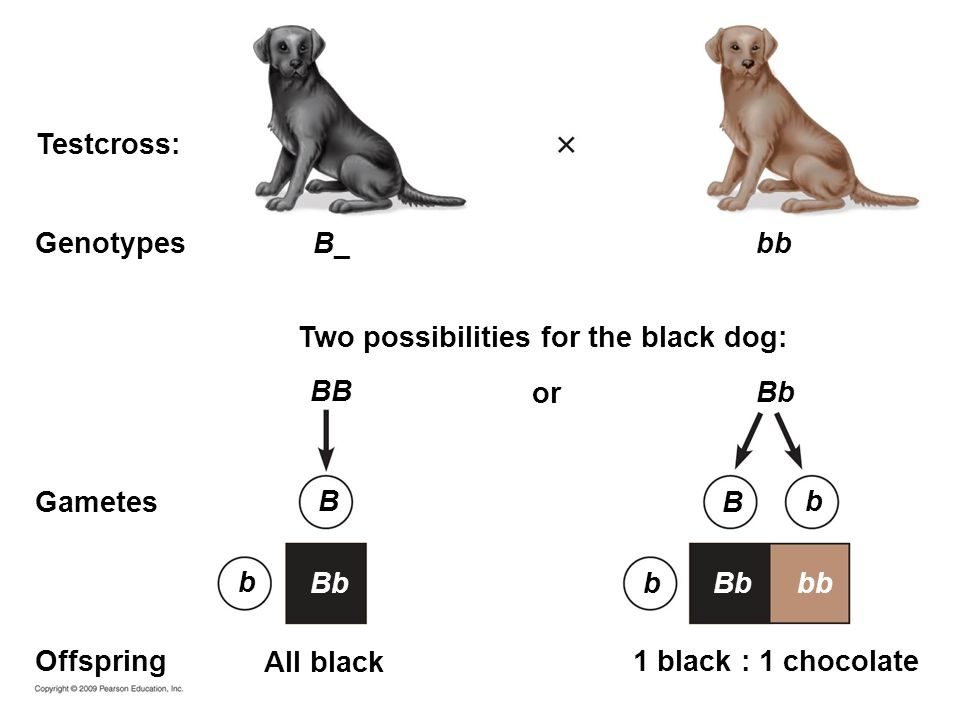 B_ or Two possibilities for the black dog: Testcross: Genotypes Gametes Offspring1 black : 1 chocolate All black Bb bb BB Bbbb B b Bb b b B