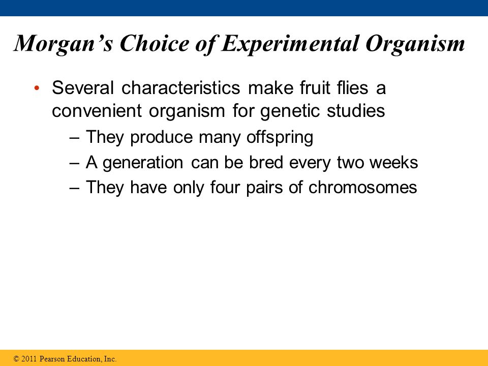 Morgan's Choice of Experimental Organism Several characteristics make fruit flies a convenient organism for genetic studies –They produce many offspri