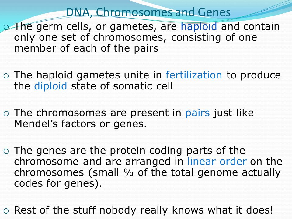 DNA, Chromosomes and Genes  The germ cells, or gametes, are haploid and contain only one set of chromosomes, consisting of one member of each of the pairs  The haploid gametes unite in fertilization to produce the diploid state of somatic cell  The chromosomes are present in pairs just like Mendel's factors or genes.