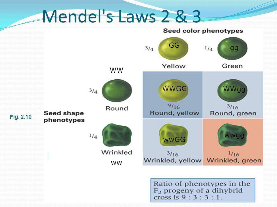 Mendel s Laws 2 & 3 Fig. 2.10 WW ww GG gg WWgg wwgg wwGG WWGG