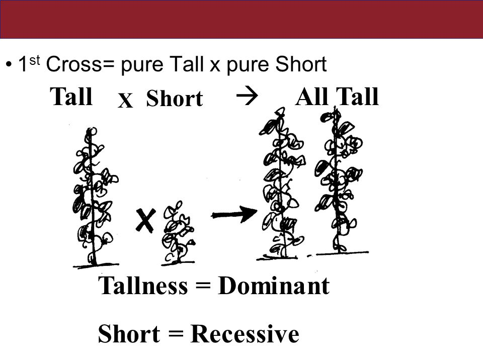 Mendel Discovered Dominance 1 st Cross= pure Tall x pure Short Tall X Short All Tall  Tallness = Dominant Short = Recessive