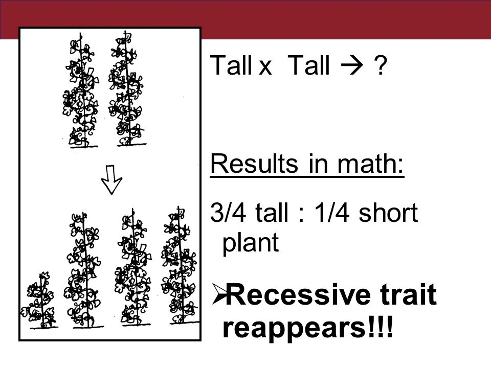 Tallx Tall  ? Results in math: 3/4 tall : 1/4 short plant  Recessive trait reappears!!!