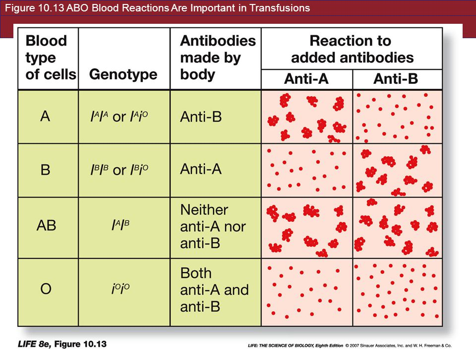 Figure 10.13 ABO Blood Reactions Are Important in Transfusions