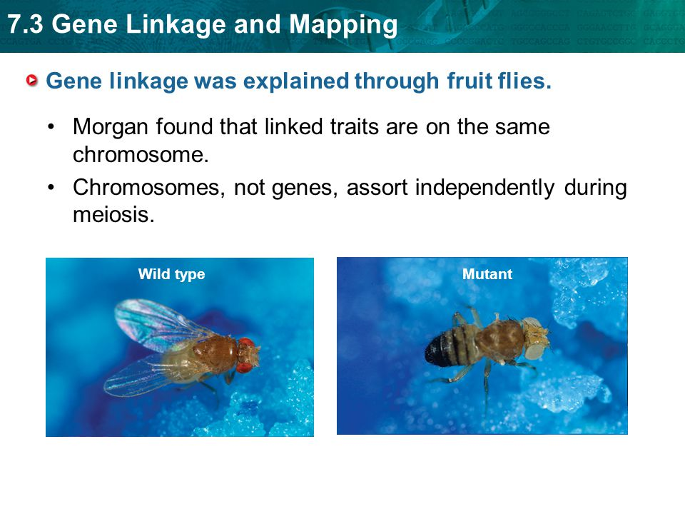 7.3 Gene Linkage and Mapping Gene linkage was explained through fruit flies. Morgan found that linked traits are on the same chromosome. Chromosomes,