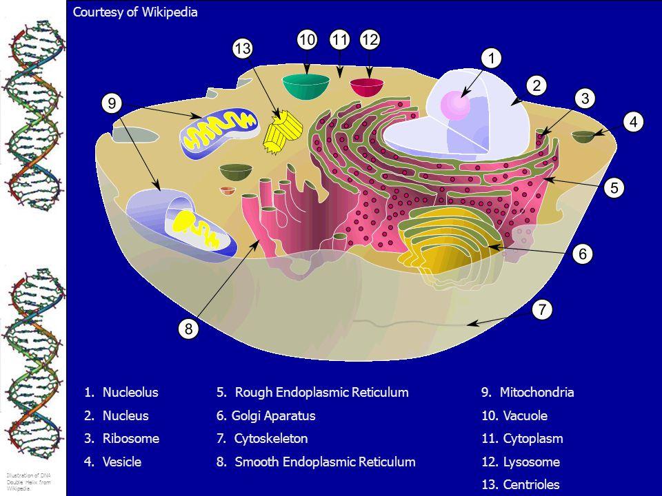 Illustration of DNA Double Helix from Wikipedia. 1. Nucleolus5. Rough Endoplasmic Reticulum9. Mitochondria 2. Nucleus6. Golgi Aparatus10. Vacuole 3. R