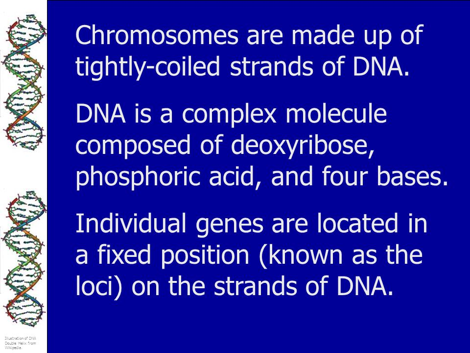 Illustration of DNA Double Helix from Wikipedia. Chromosomes are made up of tightly-coiled strands of DNA. DNA is a complex molecule composed of deoxy