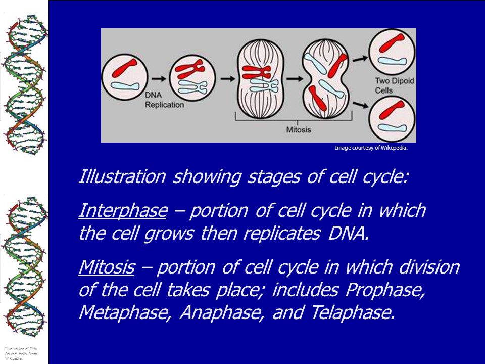 Illustration of DNA Double Helix from Wikipedia. Illustration showing stages of cell cycle: Interphase – portion of cell cycle in which the cell grows