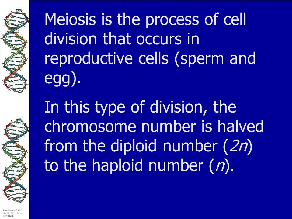 Illustration of DNA Double Helix from Wikipedia. Meiosis is the process of cell division that occurs in reproductive cells (sperm and egg). In this ty
