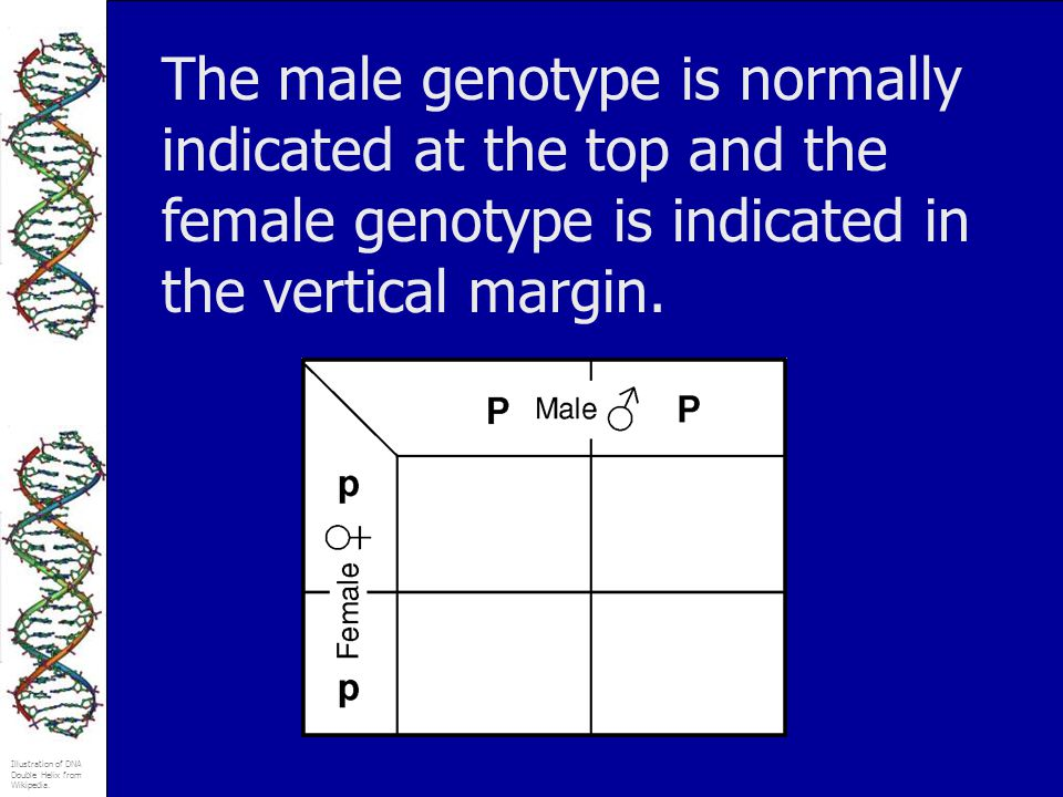 Illustration of DNA Double Helix from Wikipedia. The male genotype is normally indicated at the top and the female genotype is indicated in the vertic