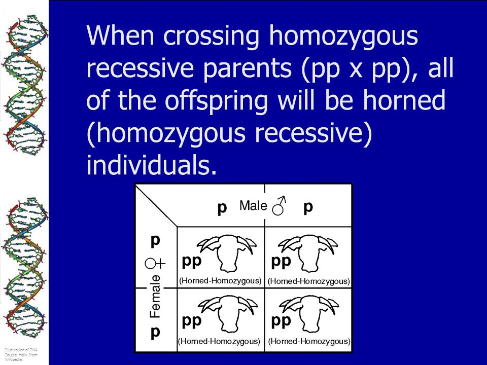 Illustration of DNA Double Helix from Wikipedia. When crossing homozygous recessive parents (pp x pp), all of the offspring will be horned (homozygous