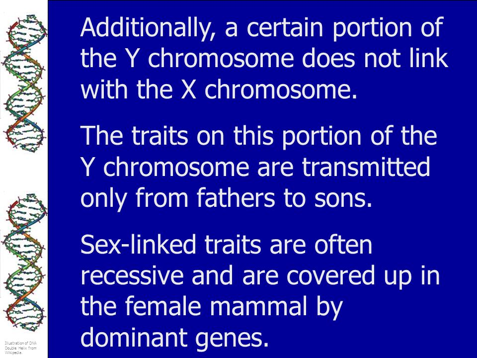 Illustration of DNA Double Helix from Wikipedia. Additionally, a certain portion of the Y chromosome does not link with the X chromosome. The traits o