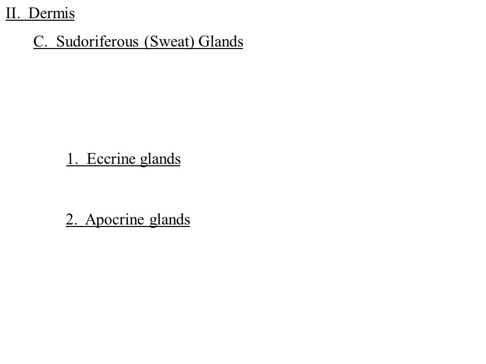 C. Sudoriferous (Sweat) Glands II. Dermis 1. Eccrine glands 2. Apocrine glands