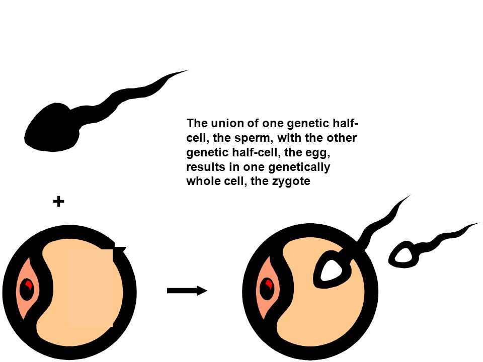 + The union of one genetic half- cell, the sperm, with the other genetic half-cell, the egg, results in one genetically whole cell, the zygote Section 15-1