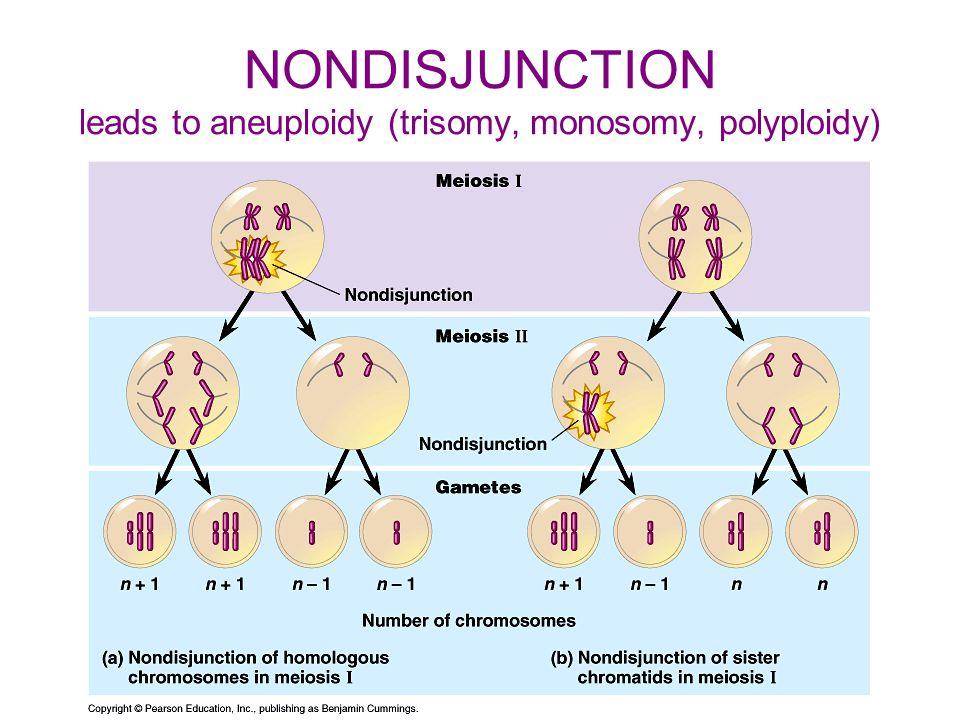 NONDISJUNCTION leads to aneuploidy (trisomy, monosomy, polyploidy)