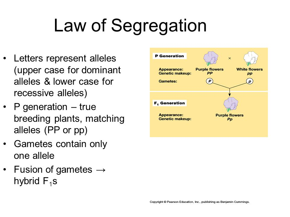 Law of Segregation Letters represent alleles (upper case for dominant alleles & lower case for recessive alleles) P generation – true breeding plants, matching alleles (PP or pp) Gametes contain only one allele Fusion of gametes → hybrid F 1 s
