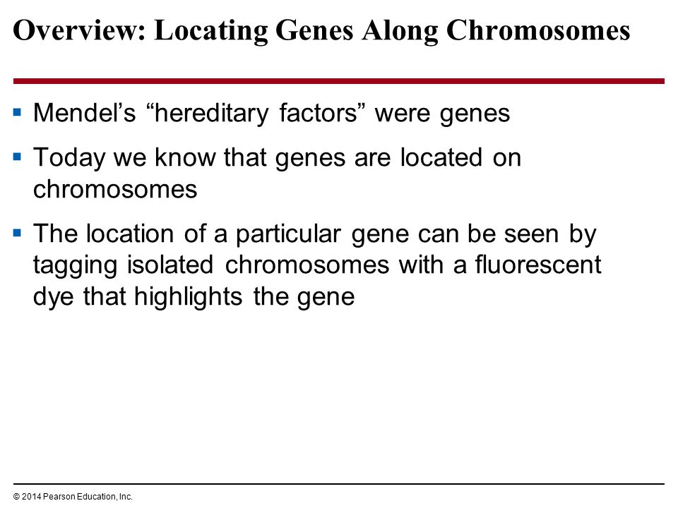 "© 2014 Pearson Education, Inc. Overview: Locating Genes Along Chromosomes  Mendel's ""hereditary factors"" were genes  Today we know that genes are lo"