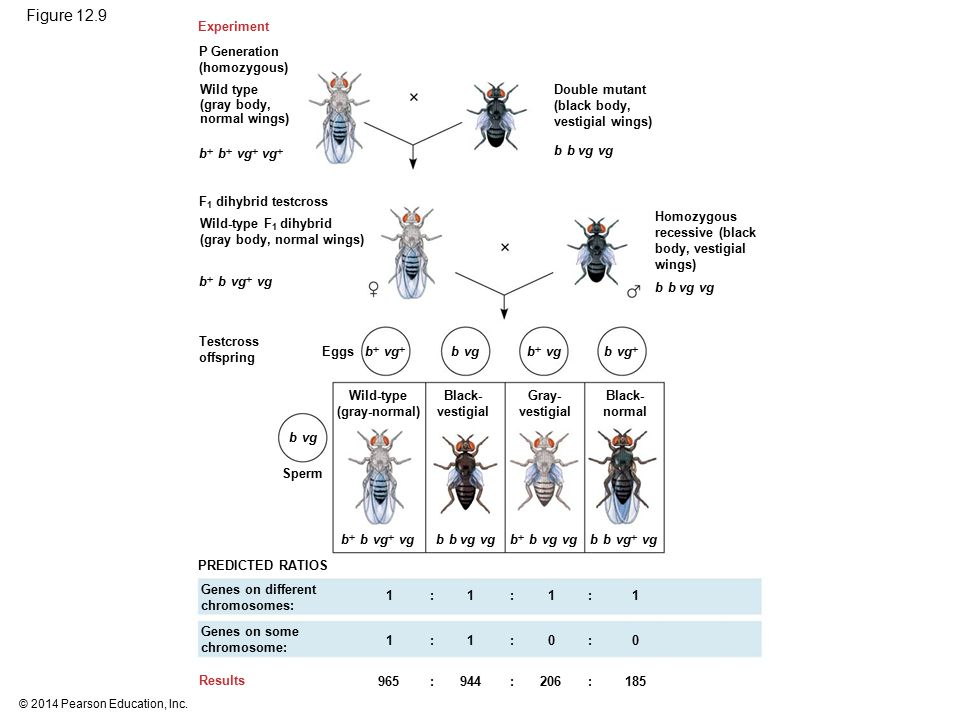 © 2014 Pearson Education, Inc. Figure 12.9 Experiment P Generation (homozygous) Wild type (gray body, normal wings) F 1 dihybrid testcross Wild-type F