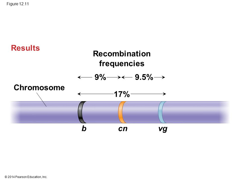 © 2014 Pearson Education, Inc. Figure 12.11 Recombination frequencies Results Chromosome bcnvg 17% 9.5%9%
