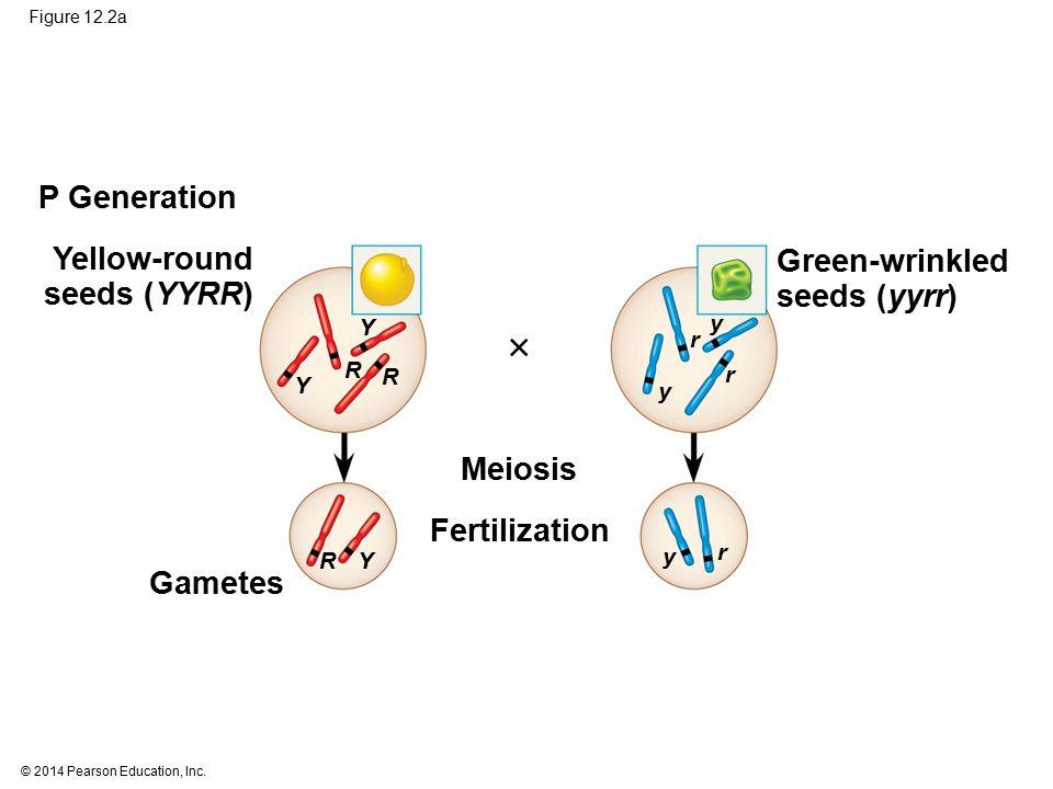 © 2014 Pearson Education, Inc.Figure 12.14a (a) Deletion A deletion removes a chromosomal segment.