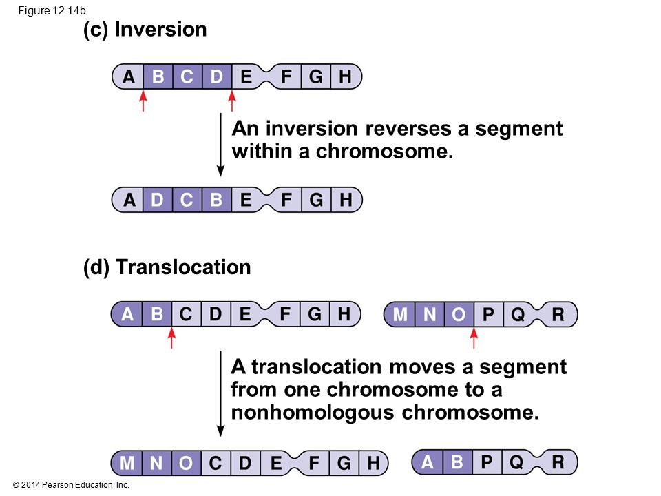 © 2014 Pearson Education, Inc. Figure 12.14b (c) Inversion (d) Translocation An inversion reverses a segment within a chromosome. A translocation move
