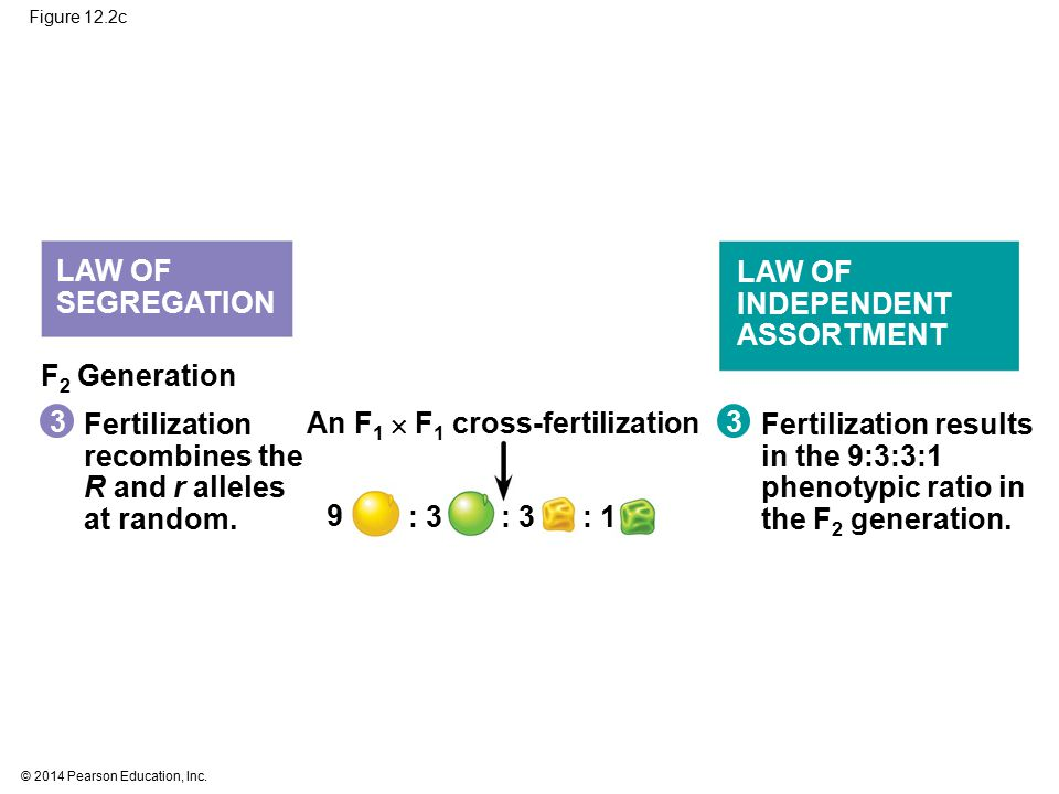 © 2014 Pearson Education, Inc. LAW OF SEGREGATION LAW OF INDEPENDENT ASSORTMENT F 2 Generation Fertilization recombines the R and r alleles at random.