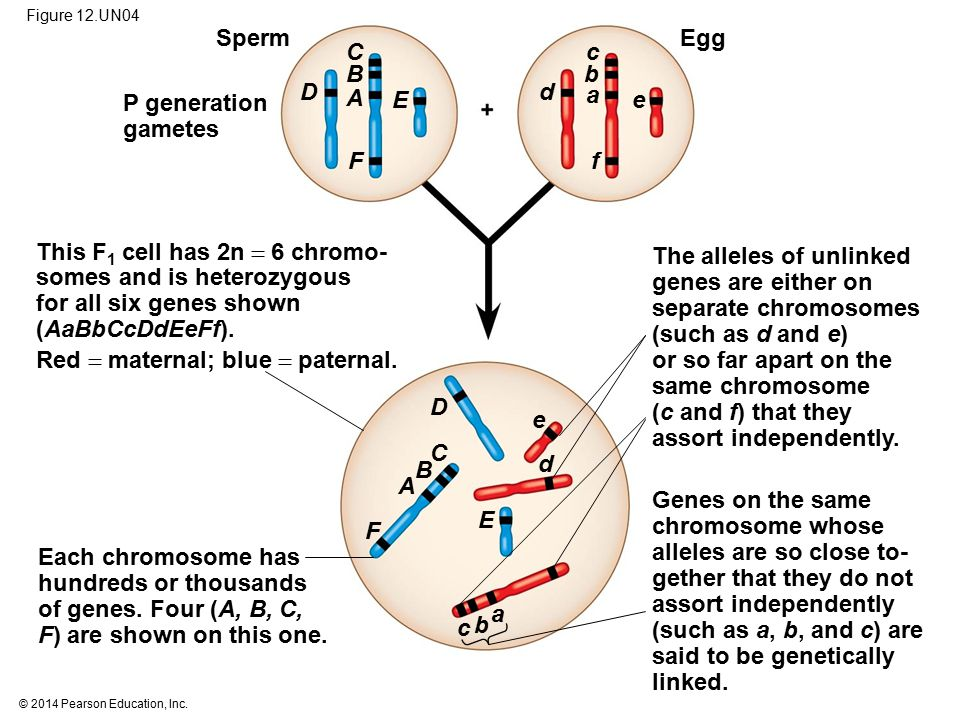 © 2014 Pearson Education, Inc. Figure 12.UN04 Sperm P generation gametes This F 1 cell has 2n  6 chromo- somes and is heterozygous for all six genes