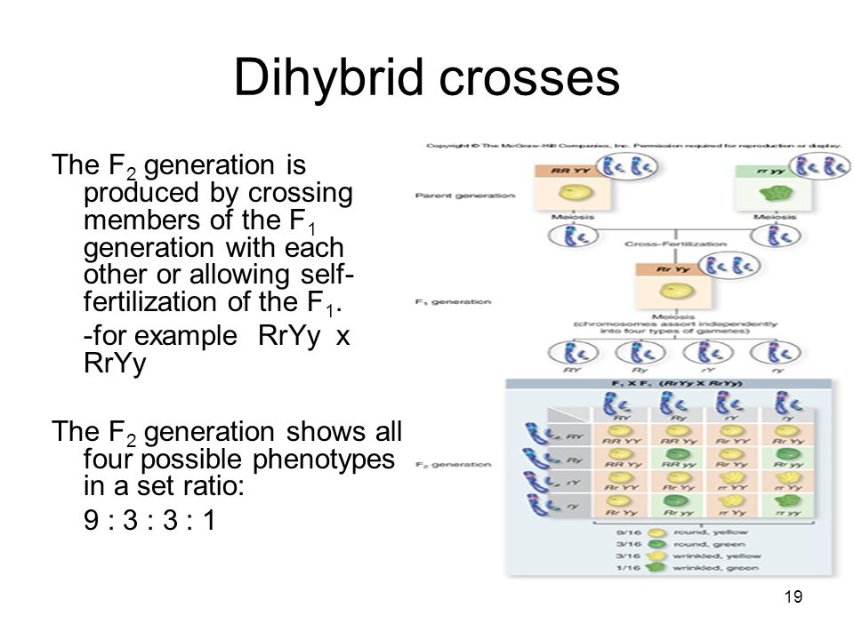19 Dihybrid crosses The F 2 generation is produced by crossing members of the F 1 generation with each other or allowing self- fertilization of the F