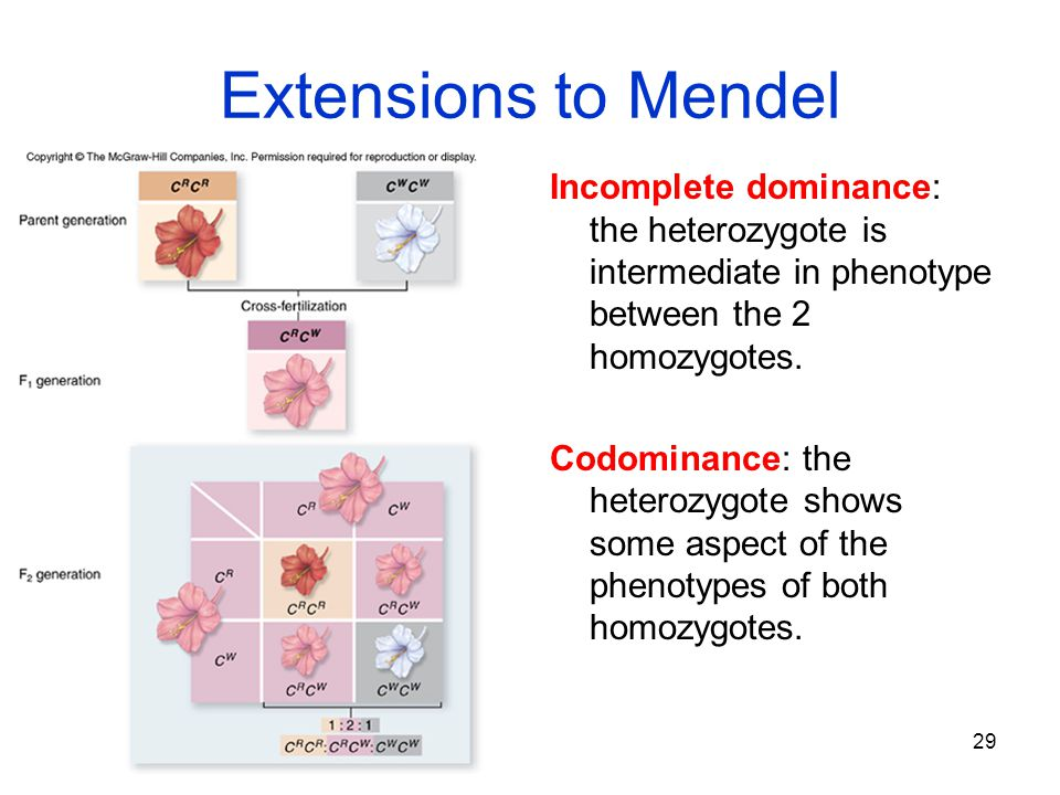 29 Extensions to Mendel Incomplete dominance: the heterozygote is intermediate in phenotype between the 2 homozygotes. Codominance: the heterozygote s