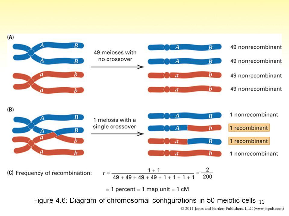 11 Figure 4.6: Diagram of chromosomal configurations in 50 meiotic cells