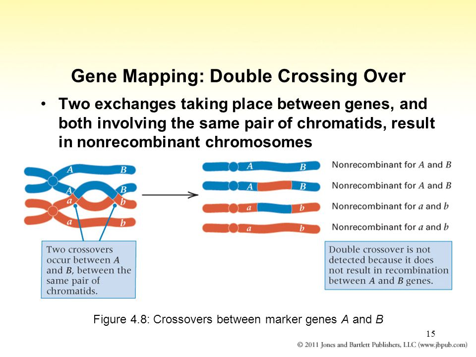 15 Gene Mapping: Double Crossing Over Two exchanges taking place between genes, and both involving the same pair of chromatids, result in nonrecombina