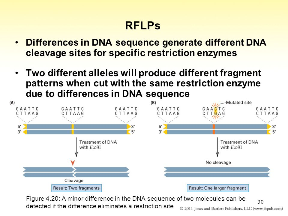 30 RFLPs Differences in DNA sequence generate different DNA cleavage sites for specific restriction enzymes Two different alleles will produce differe