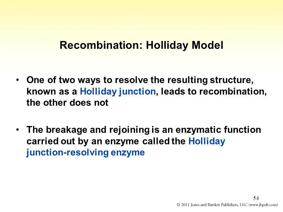 54 Recombination: Holliday Model One of two ways to resolve the resulting structure, known as a Holliday junction, leads to recombination, the other d