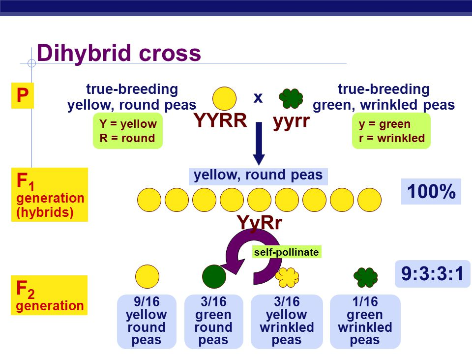 AP Biology Dihybrid cross true-breeding yellow, round peas true-breeding green, wrinkled peas x YYRRyyrr P 100% F 1 generation (hybrids) yellow, round peas Y = yellow R = round y = green r = wrinkled self-pollinate 9:3:3:1 9/16 yellow round peas 3/16 green round peas 3/16 yellow wrinkled peas 1/16 green wrinkled peas F 2 generation YyRr