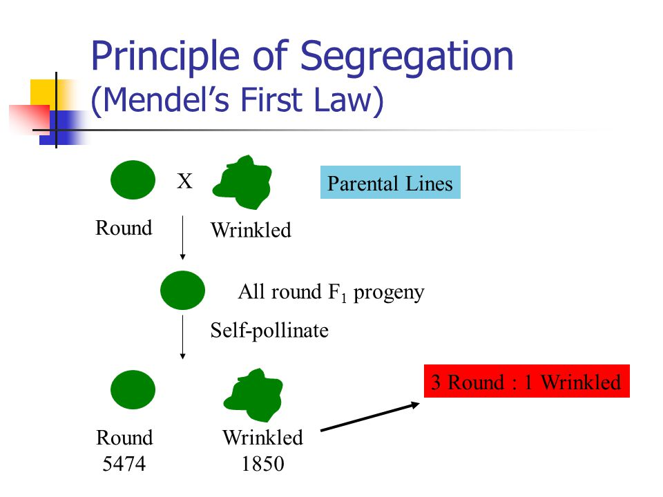 Principle of Segregation (Mendel's First Law) Parental Lines Round Wrinkled X All round F 1 progeny Self-pollinate Round 5474 Wrinkled 1850 3 Round : 1 Wrinkled