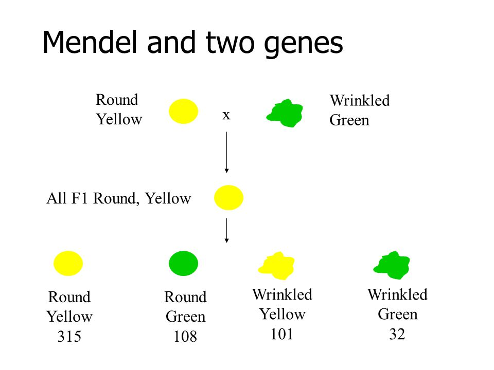 Mendel and two genes x Round Yellow Wrinkled Green All F1 Round, Yellow Round Yellow 315 Round Green 108 Wrinkled Yellow 101 Wrinkled Green 32
