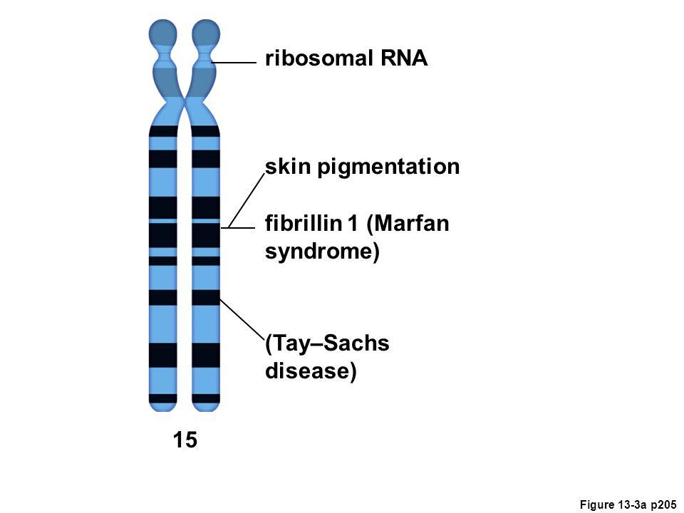 Figure 13-3a p205 ribosomal RNA skin pigmentation 15 (Tay–Sachs disease) fibrillin 1 (Marfan syndrome)